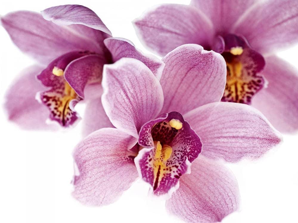 orchidea rinvasi
